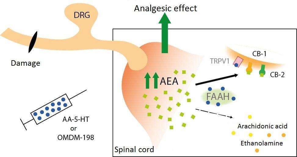 Mechanizm przeciwbólowego działania związków AA-5-HT oraz OMDM-198, będących inhibitorami enzymu FAAH – zwiększając poziom endogennego anandamidu przy jednoczesnym zablokowaniu miejsca wiązania anandamidu na receptorze TRPV1, blokując przewodnictwo probólowe i kierując jego działanie w stronę przeciwbólowej aktywacji receptorów kanabinoidowych.