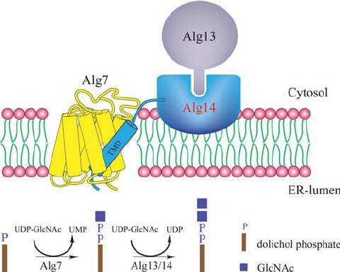 """Schemat przedstawiający tworzenie kompleksu Alg7p/Alg13p/Alg14p po cytozolowej stronie retikulum endoplazmatycznego (ER) (Lu et al., 2011). Powyższy kompleks katalizuje dwie pierwsze reakcje syntezy oligosacharydu na nośniku lipidowym, LLO (z ang.: """"Lipid Linked Oligosaccharide), który pełni funkcję donora reszt cukrowych w procesie N-glikozylacji białek. Zaburzenia w funkcjonowaniu kompleksu Alg7p/Alg13p/Alg14p na skutek nadekspresji jak i obniżonej ekspresji genu ALG13 kodującego N-acetyloglukozaminyl transferazę, wpływają na tworzenie czynników warunkujących wirulencję Candida albicans."""